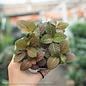 4p! Fittonia Asst /Tropical