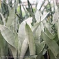 4p! Sansevieria Moonshine /Mother-in-Law Tongue /Snake Plant /Tropical