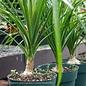 4p! Palm Beaucarnea rec / Ponytail Palm /Tropical