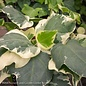 6p! Ivy Algerian Ivy - Variegated /Tropical