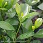 10p! Ficus Moclame  BUSH /Tropical