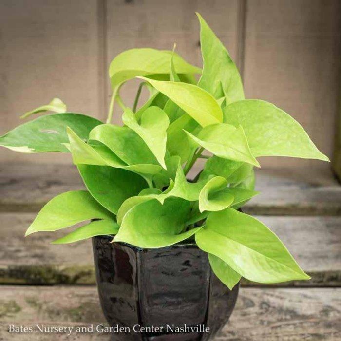 4p! Pothos Neon /Devil's Ivy /Tropical