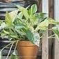 4p! Pothos Marble Queen /Devil's Ivy /Tropical