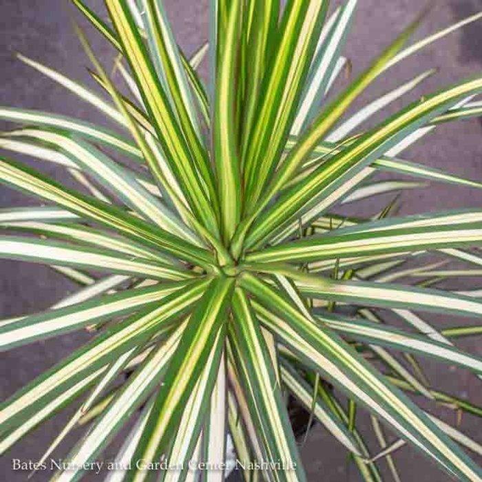 6p! Dracaena Marginata Kiwi Tip /Tropical