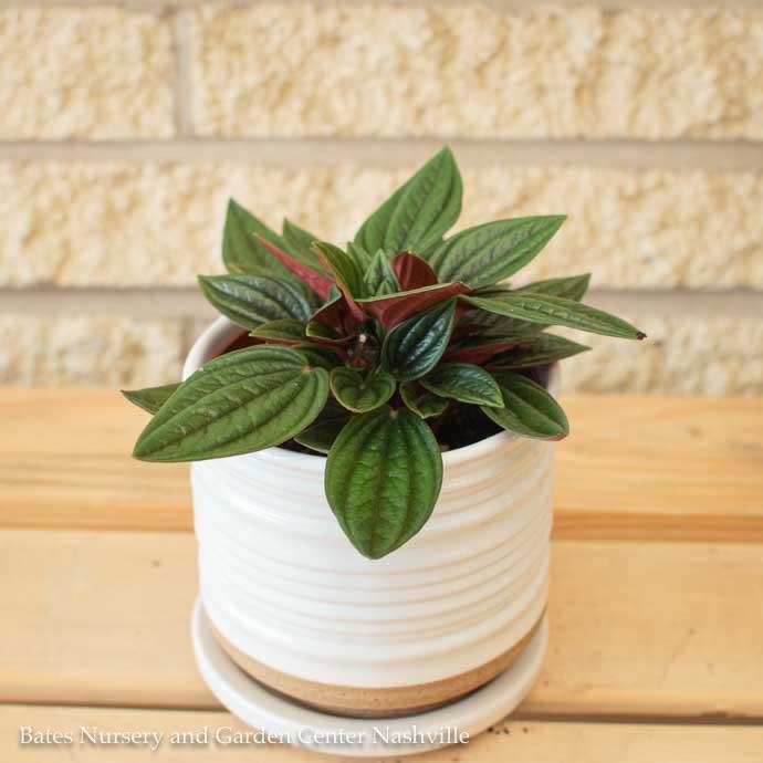 4p! Peperomia Rosso /Tropical