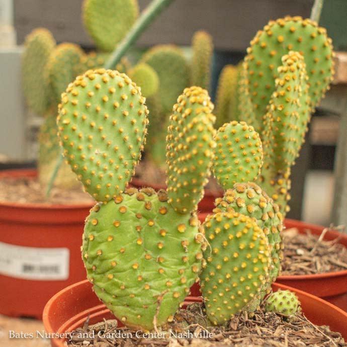 6p! Cactus Opuntia microdasys /Bunny Ears /Tropical