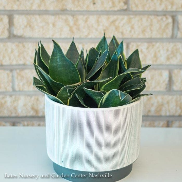 6p! Sansevieria Hahnii Black Gold /Mother-in-Law Tongue /Snake Plant /Tropical