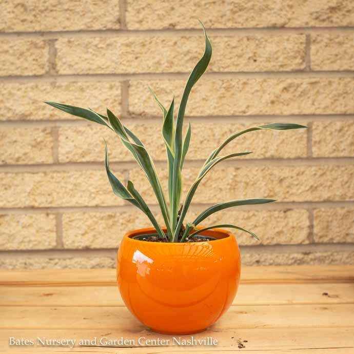 4p! Yucca Gloriosa /Tropical