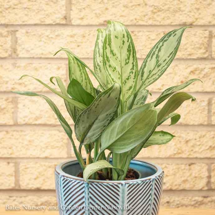 4p! Aglaonema Asst / Chinese Evergreen /Tropical
