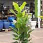 6p! Ficus Audrey Bush /Tropical **LIMIT 1**