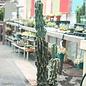 12p! Cactus Cereus Peruvians 3ppp /Tropical