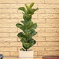 6p! Ficus Lyrata Bambino Dwarf /Tropical