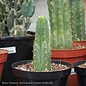 8p! Cactus San Pedro /Tropical