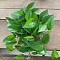 6p! Pothos Jade /Devil's Ivy /Tropical