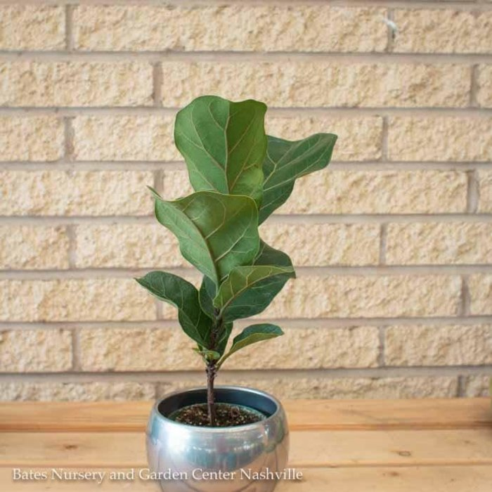 4p! Ficus Lyrata Bambino Dwarf /Tropical
