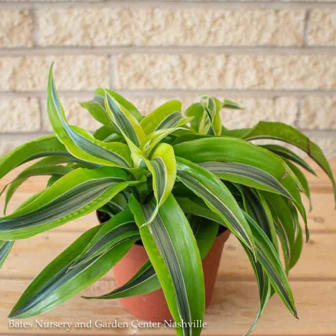 6p! Dracaena Lemon Surprise /Tropical