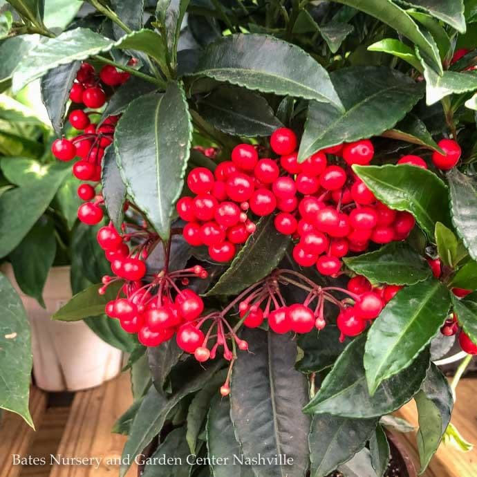 6p! Ardisia / Christmas Berry /Tropical