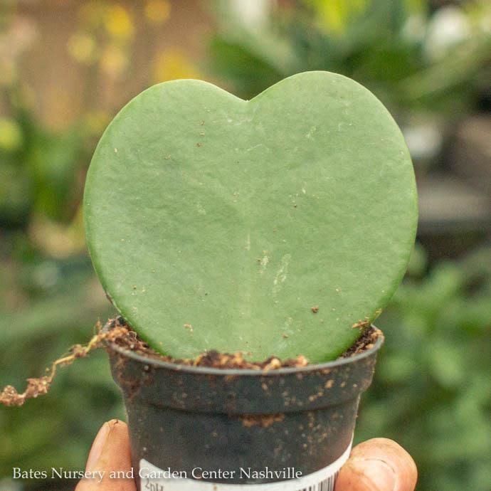 4p! Hoya Kerrii Heart-shape /Tropical