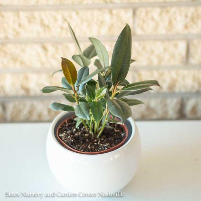 4p! Ficus E Burgundy / RubberTree /Tropical