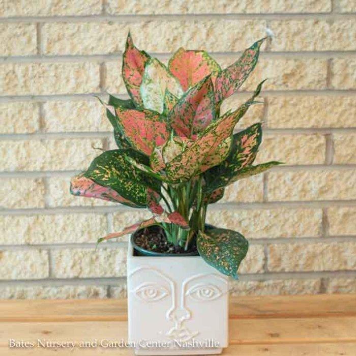 6p! Aglaonema Red Valentine / Chinese Evergreen /Tropical