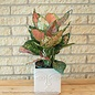 6p! Aglaonema Red Valentine / Chinese Evergreen /Tropical