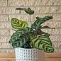 6p! Calathea Makoyana /Tropical