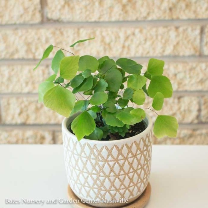 4p! Fern - Maidenhair Fern Silver Dollar /Tropical