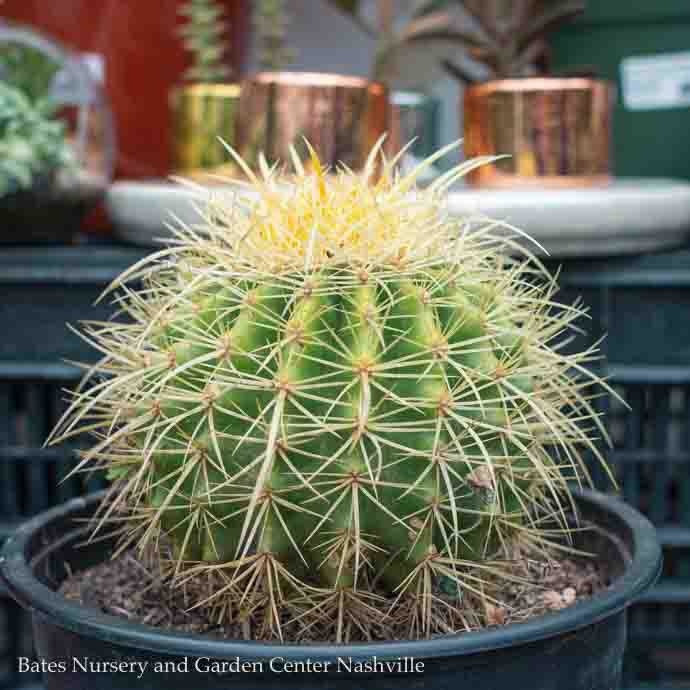8p! Cactus Golden Barrel /Tropical