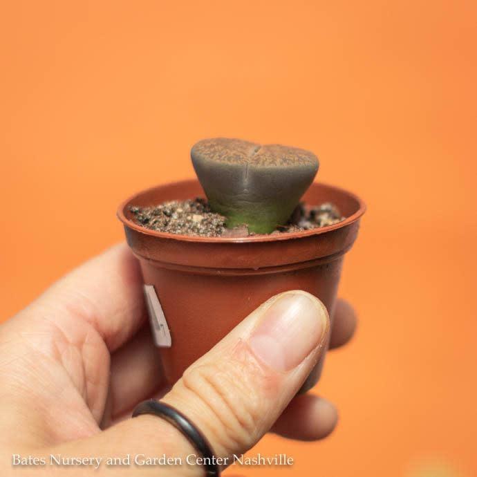 2p! Lithops /Living Stone Succulent /Tropical