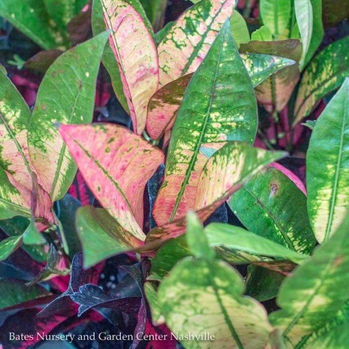 6p! Croton Fantasy /Tropical