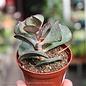 3p! Calico Hearts Succulent  /Tropical