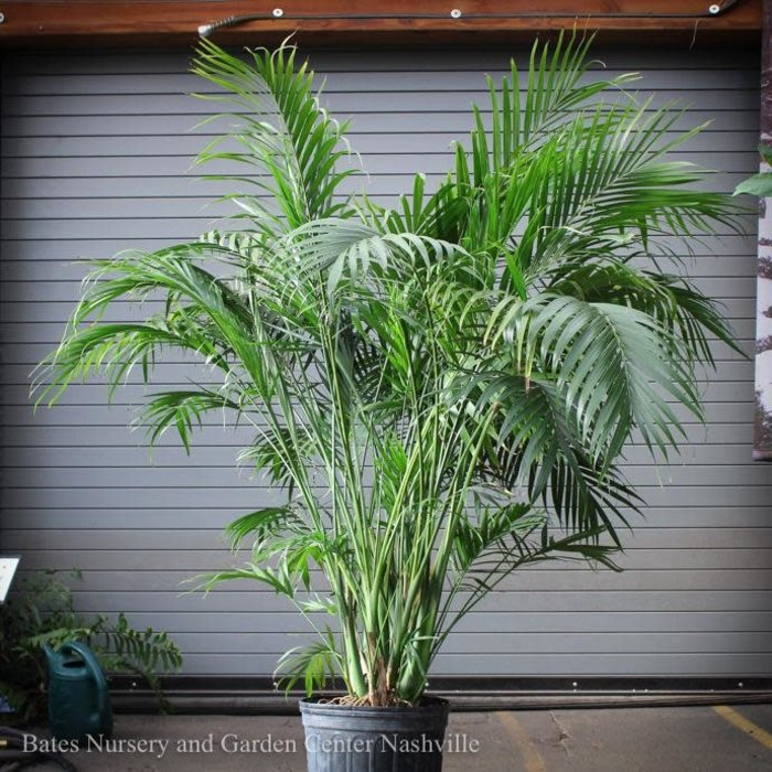 14p! Palm Cham Cataractarum / Cat Palm /Tropical