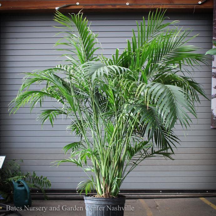 14p! Palm Cham Cataractarum / Cat Palm /Tropical