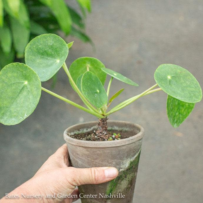 4p! Pilea peperomiodes /Chinese Money in Clay Pot /Tropical