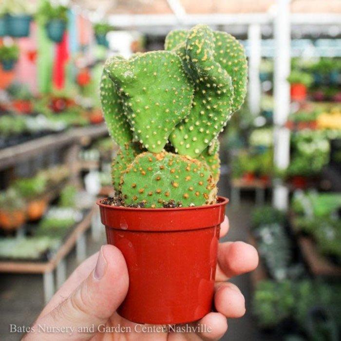 2.5p! Cactus Opuntia micro /Tropical