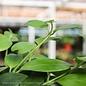 4p! Aeschynanthus Purple Star /Lipstick Plant /Tropical