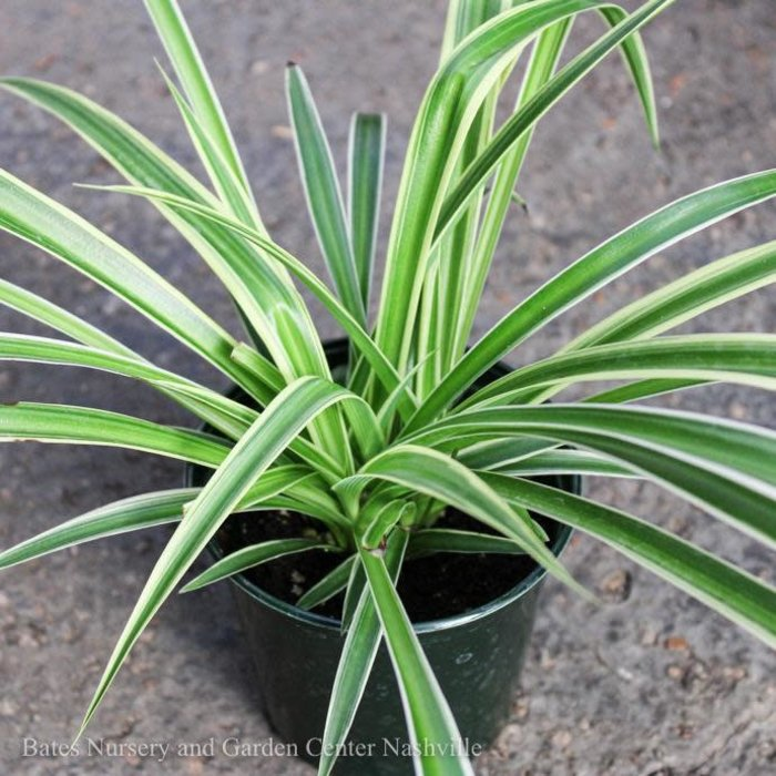 4p! Chlorophytum / Spider Plant /Tropical