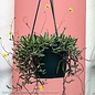 6hb! Hanging Basket Ruby Necklace String Succlent /Tropical