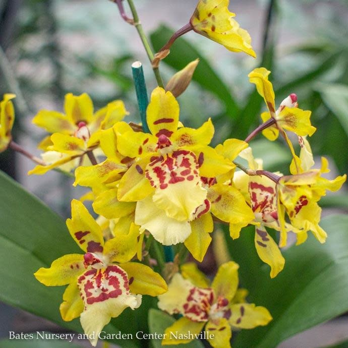 4p! Orchid Oncidium Asst /Tropical