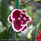 4.5p! Orchid Phalaenopsis Asst /Tropical Assorted Colors