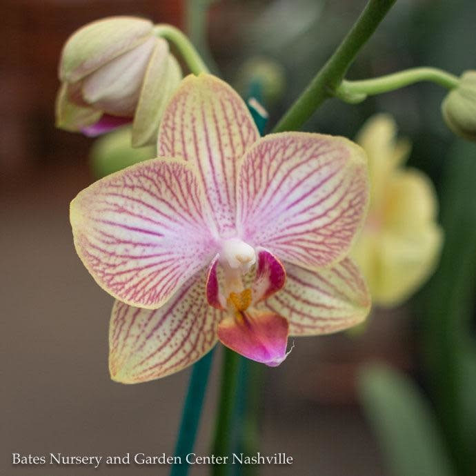 4p! Orchid Phalaenopsis Tall Single Spike Asst /Tropical Assorted Colors