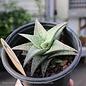 QP Aloe Vera White Fox/Tropical