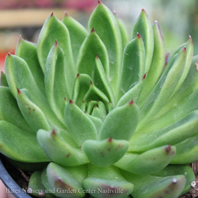 Tropical QP Echeveria Red Tip