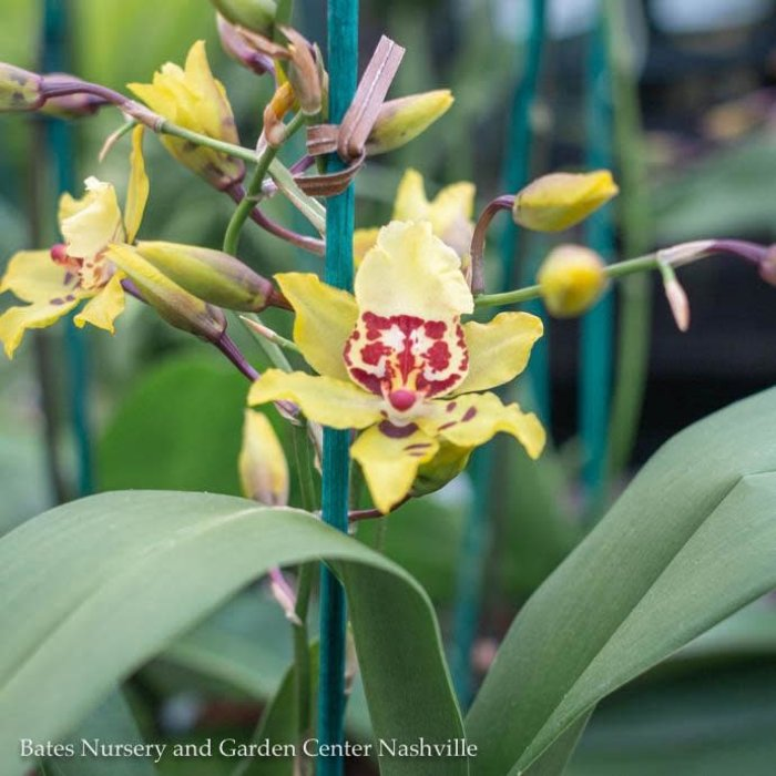 6p! Orchid Oncidium Asst /Tropical