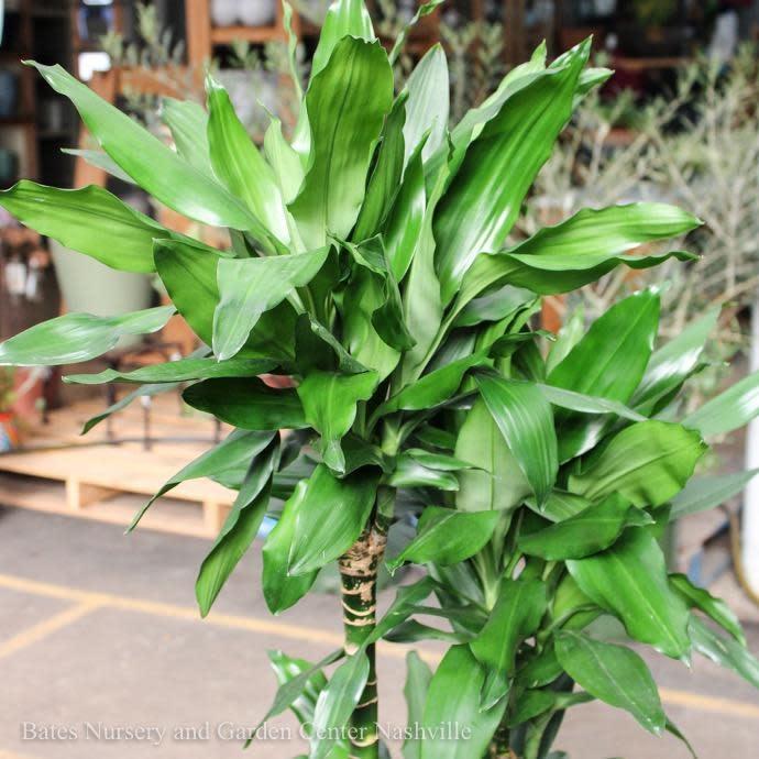 10p! Dracaena Lind Cane 5ppp /Tropical
