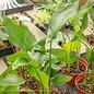 6p! Strelitzia /White Bird of Paradise /Tropical