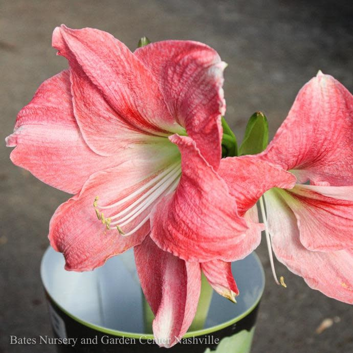 6p! Potted Amaryllis Double Bloom /Tropical