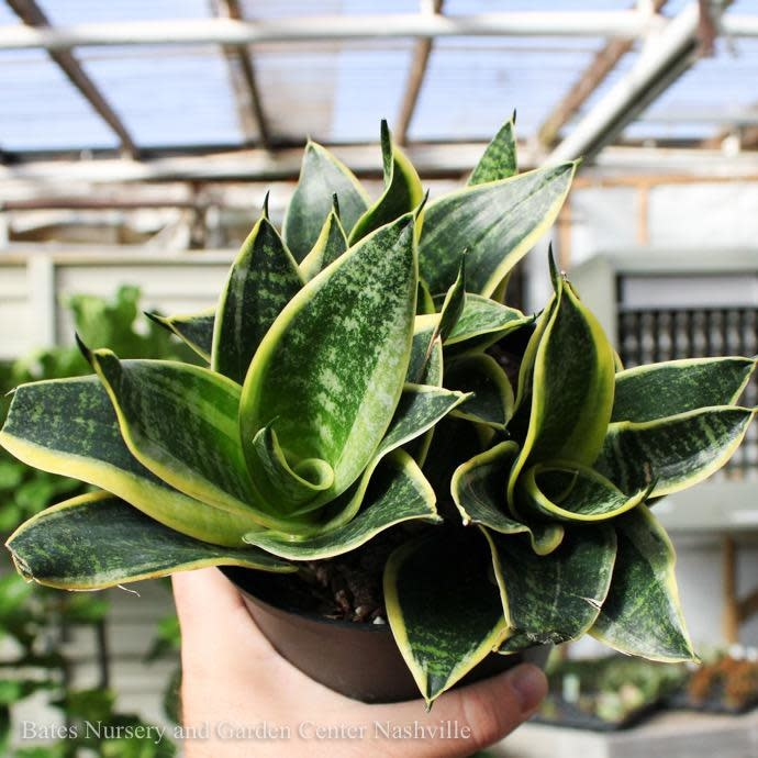 6p! Sansevieria Hahnii Marginata /Mother-in-Law Tongue /Snake Plant /Tropical
