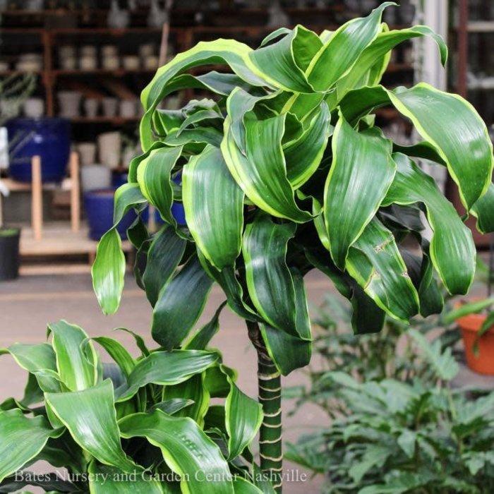 10p! Dracaena Dorado Cane 3.2.1 /Tropical