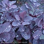 #5 PT Cotinus cogg Royal Purple/Smoketree Patio Tree